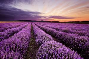 terpenes-in-cannabis-smell-like-lavender