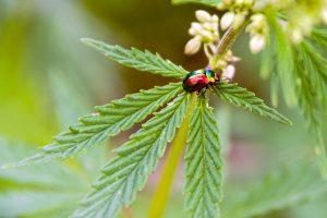 marijuana breeding for CBG, CBC, CBN, CBV, CBL, THCV, THC